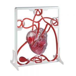 Maqueta del corazón humano