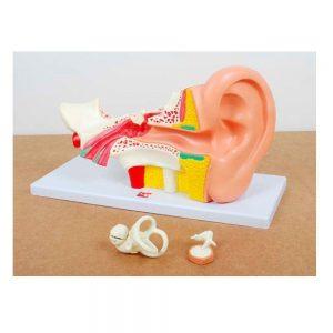 Maqueta del oído humano